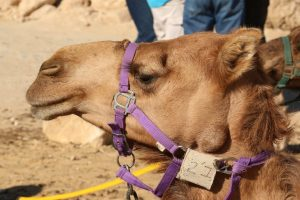 This is the camel my friend and I rode, whom we named Sir Archibald Cameltoe III.